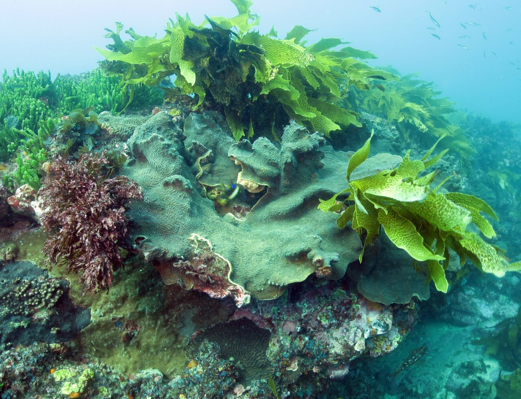 Coral and kelp growing side-by-side in the Solitary Islands Marine Park at 30 degrees southern latitude. (Image by Brigitte Sommer)