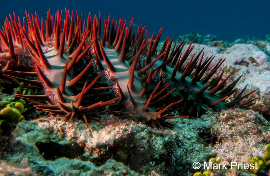 Crown of Thorns starfish (Image: Mark Priest)