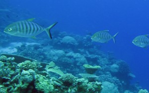 Protecting pristine reefs does not mitigate current threats. (Image by Maria Beger)