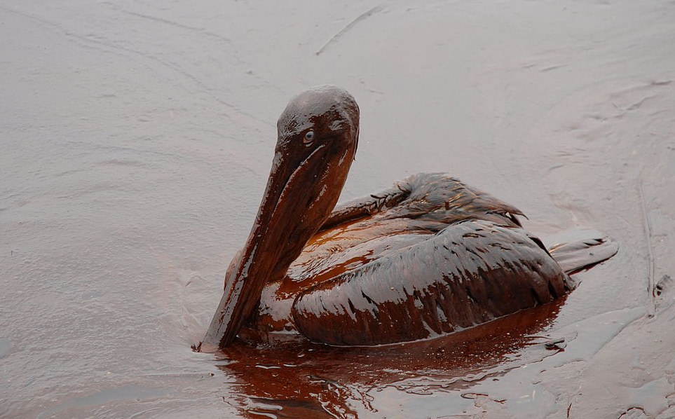 An oiled brown pelican near Grand Isle, Louisiana in the aftermath of the Deepwater Horizon spill. Impacts on wildlife in some regions were catastrophic. (Image: Louisiana GOHSEP CC2.0)