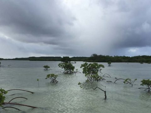 (Above) Wetlands such as these mangroves are under threat from sea level rise. Could payments from the ecosystem services help cover the cost of their preservation? (Photo by Catherine Lovelock)