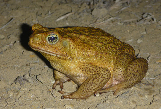The cane toad can't retain water. Consequently, it's remorseless spread might be stopped if we can build a waterless barrier. (Photo by Reid Tingley)