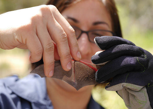 The wing joints of a Gould's wattled bat (removed from a bat box during the monitoring program) are inspected for ossification. This allows researchers to determine the bat's age. (Image by Claire Keely)