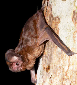 The white-striped freetail bat is one of the few microbats with echolocation calls that can be heard by humans.  (Image by Stewart Macdonald)