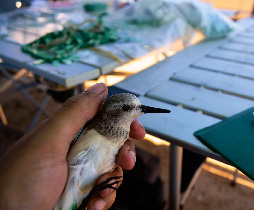 Catching and tagging birds is a large part of understanding where they migrate. However, if we tag a few birds in multiple locations, we can learn more about how the population behaves as a whole, than if we tag many birds in the same location. (Photo by Kiran Dhanjal-Adams)
