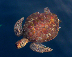 Developing conservation plans for a threatened migratory animal like the loggerhead sea turtle presents multiple challenges.  (Photo by Tessa Mazor)