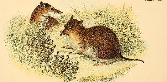 An early drawing of the southern brown bandicoot. (From The hand-book to the marsupialia and monotremata, 1896)