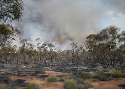 Large bushfires occur in the mallee shrublands and woodlands of Victoria, NSW and South Australia. Policymakers need to pay more attention to the connection between fire and biodiversity conservation. (Photo by Lauren Brown)