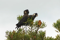 Studies on the endangered Carnaby's black-cockatoo (in Western Australia) have shown their continued presence in the landscape will require a good understanding of fire regime. Researchers have shown they need large areas of native woodland burned with less frequency. (Photo by Leonie Valentine; and see Decision Point #84)