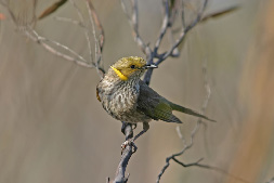 The yellow-plumed honeyeater is one of many birds in mallee shrublands and woodlands in Victoria that prefer older vegetation with large trees, features not favoured in a regime of frequent burning. (Photo by Rohan Clarke; and see Decision Point #88)