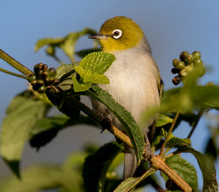 A silvereye amidst the (lantana) thorns. (Photo by Jasmine Zeleny)