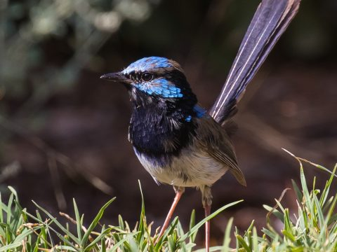 The superb fairy-wren feeds on insects and small grubs, and will often appear in small groups in gardens with dense, low, native shrub cover. (Image by Geoff Park)