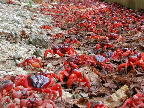 The mass migration of red crabs on Christmas Island is one of the natural wonders of the world. But the red crab and many other species on this isolated island are under threat. Given limited resources, how do Christmas Island National Park managers choose between multiple actions to protect multiple species?  (Photo by Max Orchard, Parks Australia)