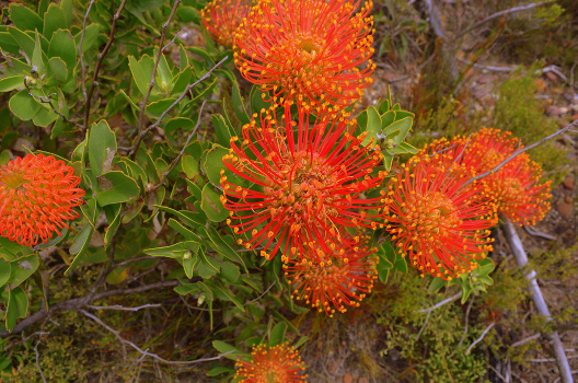 Pincushion (Leucospermum cordifolium) on BSP land near Cape Town, South Africa. (Photo by Matthew Selinske)