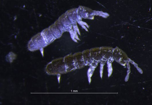 Meet Cryptopygus antarcticus, an Antarctic springtail that has evolved to cope with some of the harshest living conditions on the planet. You'll only find it on patches of ice-free land, and its fate in a climate-change future is very uncertain. (Photo by Melissa Houghton)