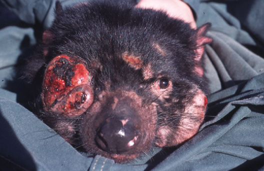 Devil facial tumor disease threatens the survival of wild populations of the Tasmanian devil. The disease is believed to be transmitted through biting and causes tumors on the face or inside the mouth. Once tumors develop, death typically occurs within months. The disease was first detected in NE Tasmania in 1996 and has since spread across most of the devil's habitat, resulting in an 80% decline in wild populations.