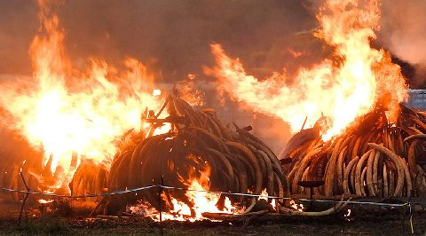 Piles of ivory burning in Kenya. (Photo by Daniel Stiles)