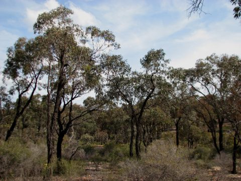 A red ironbark woodland in Jackass Flat Nature Conservation Reserve, Victoria. What's the value of acquiring more information for our management of these ecosystems? (Photo by Melburnian, CC BY-SA 3.0)