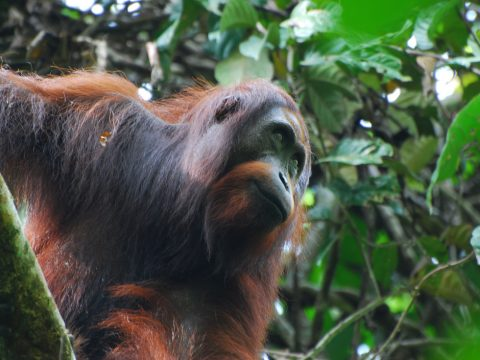 A Bornean orangutan. A central pillar of the RSPO is to manage palm-oil plantations in a way that maintains and/or enhances highconservation-value species such as orangutans (which are to be monitored and protected by palm-oil growers). It is expected that there would be no loss or a reduced rate of loss of orangutan populations in RSPO-certified concessions (as compared with equivalent non-certified concessions). Unfortunately, our analysis showed no difference.  (Image by Marc Ancrenaz)