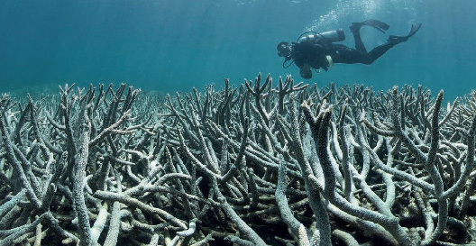 A diver witnessing bleached coral at Heron Island.  (Photo by XL Catlin Seaview Survey)