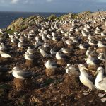 Using telemetry data to assess conservation requirements of the shy albatross