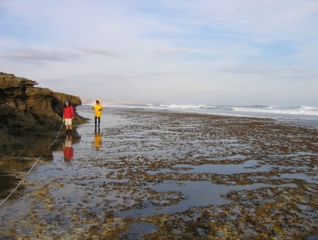 Researchers worked with Parks Victoria to determine management thresholds relating to the condition of Neptune's necklace, a common seaweed of the intertidal zone. (Photo by Museum Victoria)