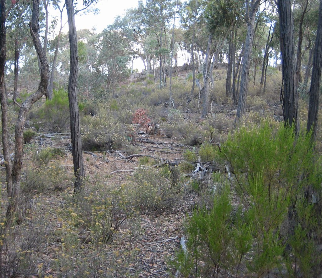 A thinned eucalypt stand showing the recovery of thick understorey vegetation some 6 years after thinning. (Photo by Chris Jones)