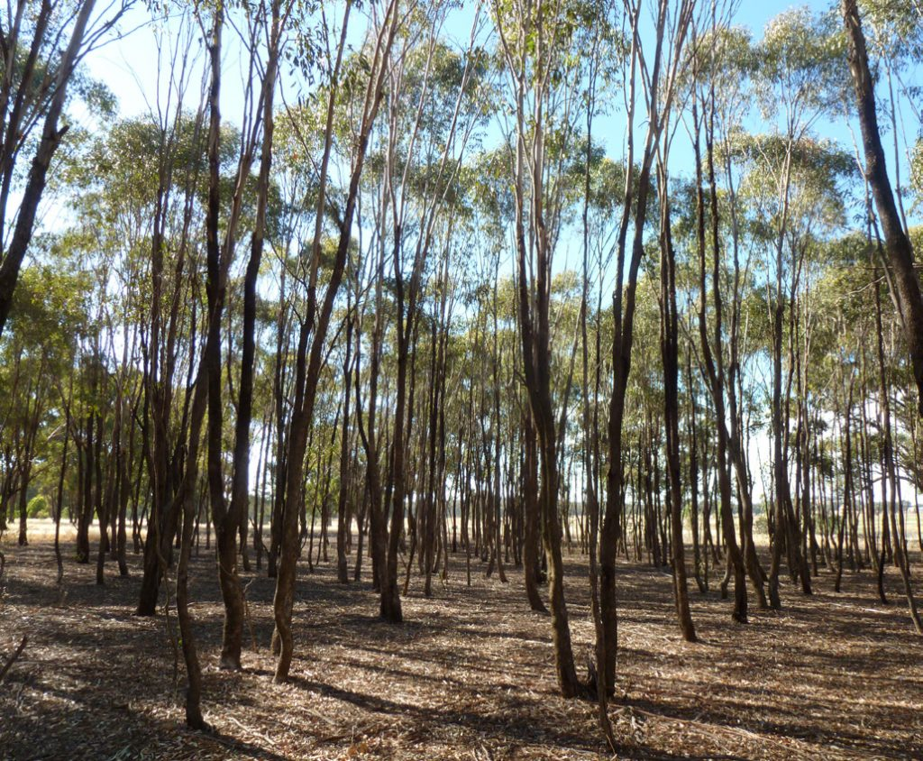 Dense regrowth of grey box (Eucalyptus microcarpa) on a grazing property in central Victoria. (Photo by Chris Jones)