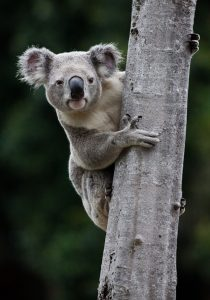 When it comes to managing koalas in the Koala Coast region of Queensland, a VoI analysis showed little benefit was derived from spending extra time and money on gathering information on birth and death rates, and the effect of forest cover on these rates. (Photo by Liana Joseph)