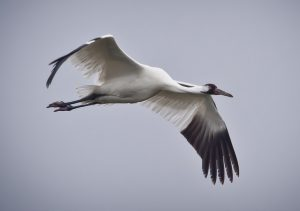 A whooping crane in flight in Texas. VoI analysis has been important in determining which is the best strategy to follow in managing this endangered migratory bird. (USDA Photo by John Noll, CC 2.0)